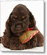 Cocker Spaniel Pup With Chew Treat Metal Print