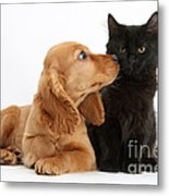 Cocker Spaniel Puppy And Maine Coon Metal Print