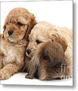 Cockerpoo Puppies And Rabbit Metal Print