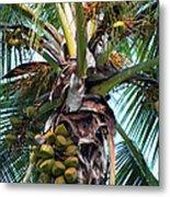 Coconut Palm Inflorescence Metal Print by Karon Melillo DeVega