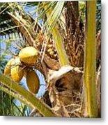 Coconuts 1 Metal Print