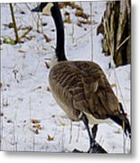 Cold Footed Goose On The Loose Metal Print