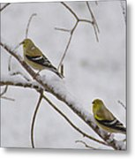 Cold Yellow Finch Walk Metal Print