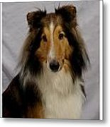 Collie 111 Metal Print