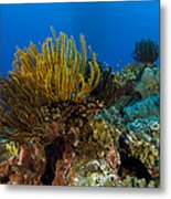 Colony Of Crinoids, Papua New Guinea Metal Print