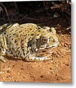 Colorado River Toad Metal Print