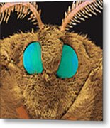 Coloured Sem Of The Head Of A Silk Moth, Bombyx Sp Metal Print