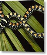 Colubrid Snake Boiga Sp A Flying Snake Metal Print