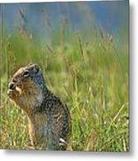 Columbia Ground Squirrel Feeding Metal Print