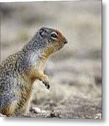 Columbian Ground Squirrel, Banff Metal Print