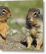 Columbian Ground Squirrels, Banff Metal Print