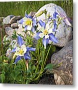 Columbine Colorado State Flower Metal Print