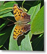 Comma Anglewing Butterfly - Polygonia C-album Metal Print