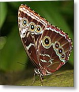Common Blue Morpho Metal Print