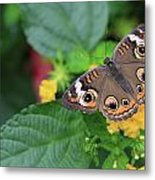 Common Buckeye II Metal Print