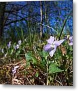 Common Dog-violet Metal Print