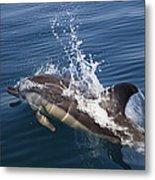 Common Dolphin Delphinus Delphis Metal Print