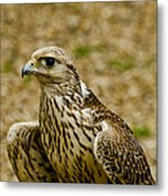 Common Female Kestrel Metal Print