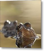 Common Frog (rana Temporaria) In Pond Metal Print