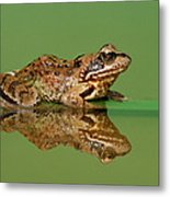 Common Frog Rana Temporaria Metal Print