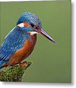 Common Kingfisher Alcedo Atthis Metal Print