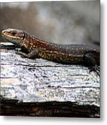Common Lizard Metal Print