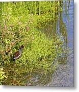 Common Moorhen At The Waters Edge Metal Print