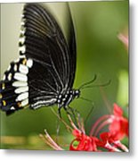 Common Mormon Butterfly Metal Print
