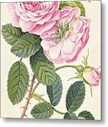 Common Provence Rose Metal Print by Georg Dionysius Ehret
