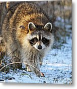 Common Raccoon Metal Print