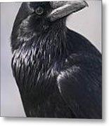 Common Raven, Jasper National Park Metal Print