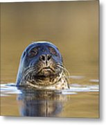 Common Seal Metal Print