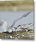 Common Terns Metal Print by Duncan Shaw