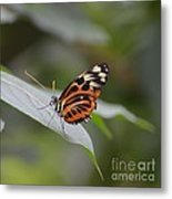 Common Tiger Glassywing Metal Print
