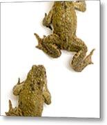 Common Toad Metal Print