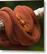 Common Tree Boa Corallus Hortulanus Metal Print