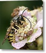 Common Wasp Feeding On A Flower Metal Print