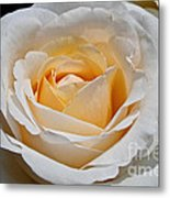 Common Wealth Glory Rose Metal Print