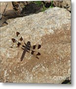 Common Whitetail Dragonfly Metal Print