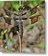 Common Whitetail Dragonfly - Plathemis Lydia - Female Metal Print