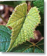 Concord Grape Plant Metal Print by Science Source
