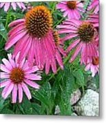 Cone Flowers In Bloom Metal Print