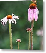 Coneflowers And Butterfly Metal Print