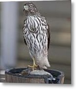 Cooper's Hawk - Immature - 0002 Metal Print