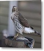 Cooper's Hawk - Immature - 0010 Metal Print