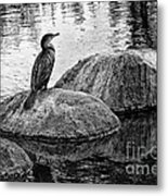 Cormorant On Rocks Metal Print