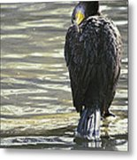 Cormorant Portrait In Shallow Water Metal Print
