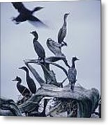 Cormorants Fly Above Driftwood, Grey Metal Print by Leanna Rathkelly