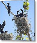Cormorants Nesting Metal Print