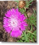 Corn Flower Metal Print